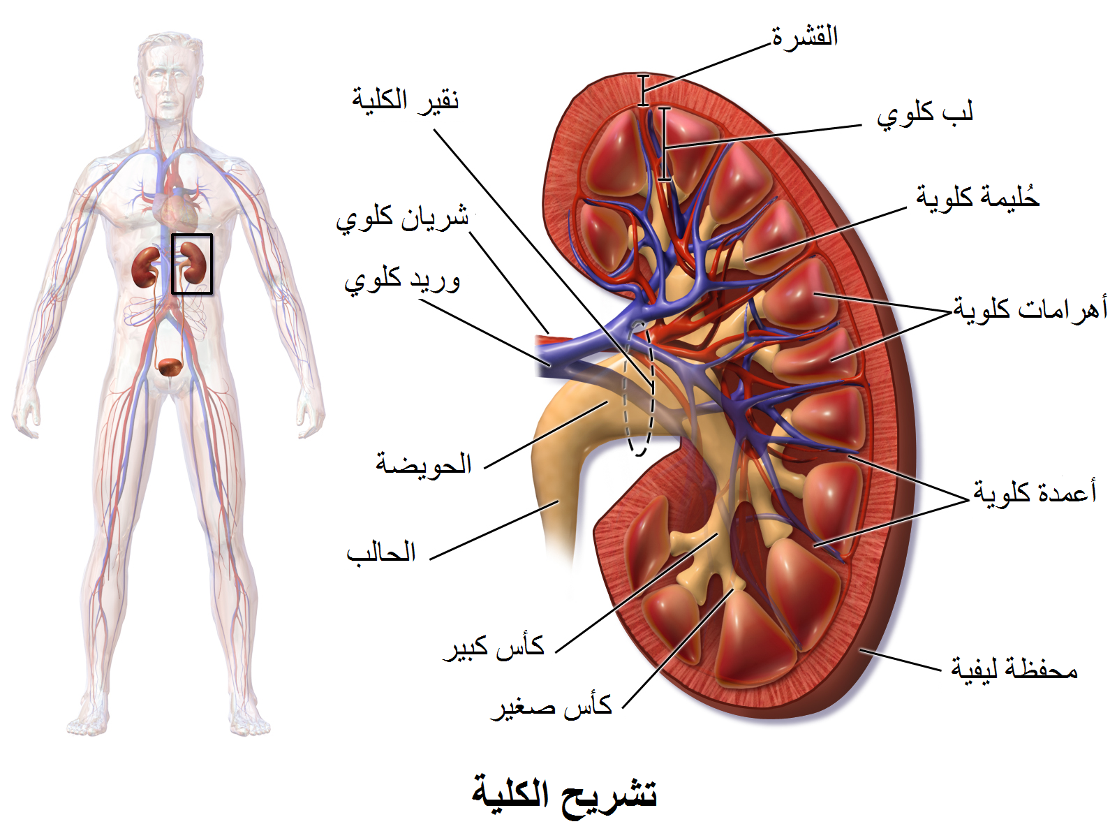 Kidney Anatomy